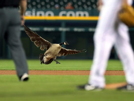 A Canada goose lands near the pitching mound during