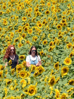 Emily Meigs of East Lyme, left, and Amanda Hester of Montivlle walk through a field of sunflowers Tuesday at Buttonwood Farm in Griswold. The annual Make-A-Wish sunflower fund-raiser starts this Saturday at 10 a.m. See video and more photos at NorwichBulletin.com