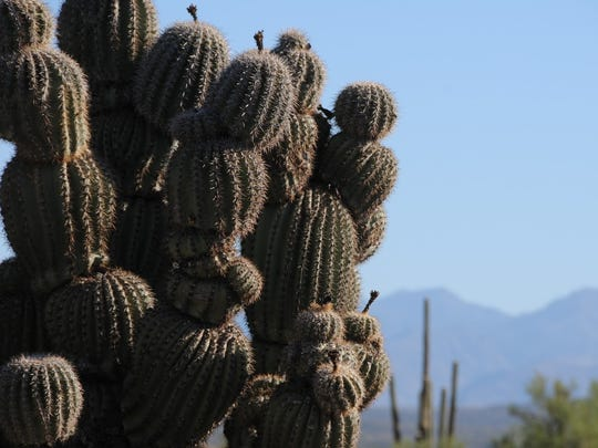 This cactus on the Renegade Trail in the McDowell Sonoran