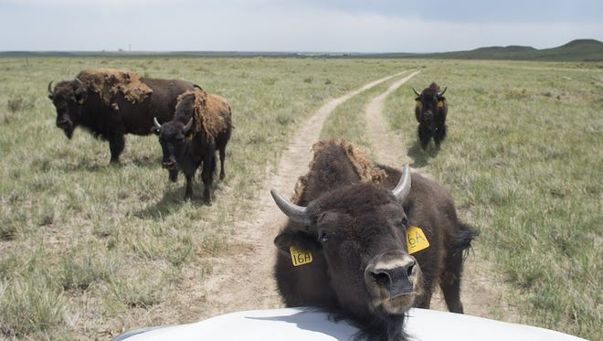 A bison gives its neck a scratch on the hood of Dr. Jen Barfield's car at Soapstone Prairie Natural Area north of Fort Collins on June 28. The bison, introduced to a 1,000-acre pasture last year, have been flourishing with eight new calves this season.