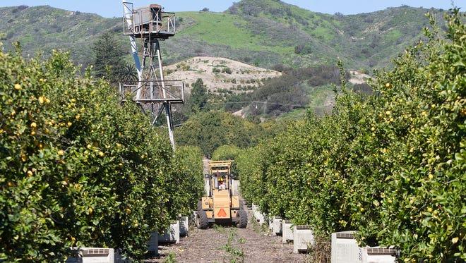 Lemons are harvested at an orchard in Santa Paula.  STAR FILE PHOTO