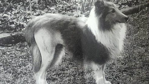 lost-sheltie0318