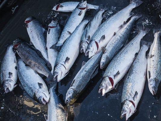 636395369965118548-Atlantic-salmon.jpg