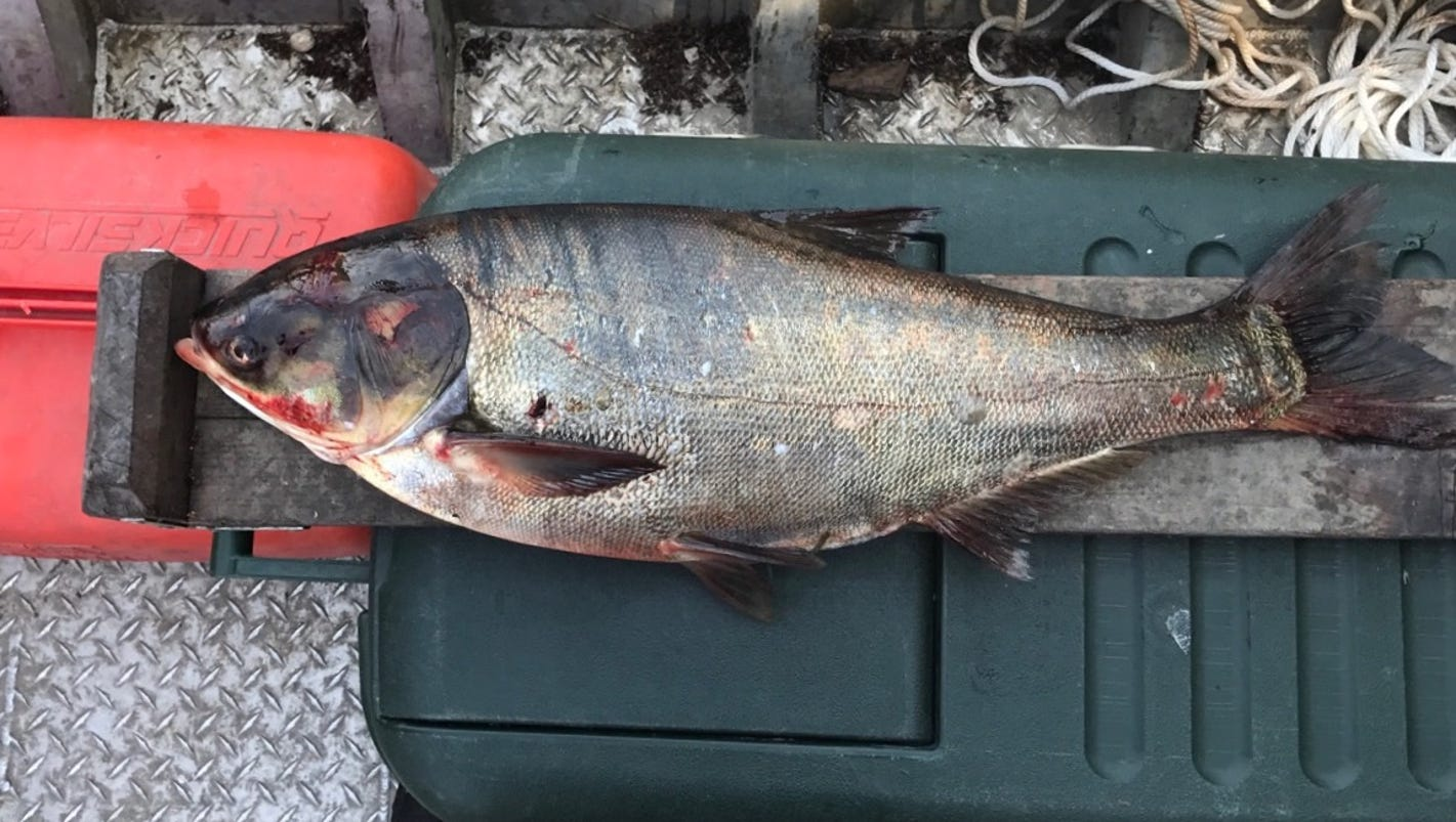 Asian carp found near lake michigan got past electric barriers for Japanese carp