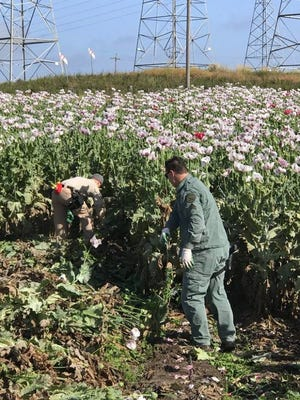 Monterey County Sheriff's deputies seized 27,000 opium poppy plants in a Moss Landing field, according to MCSO.