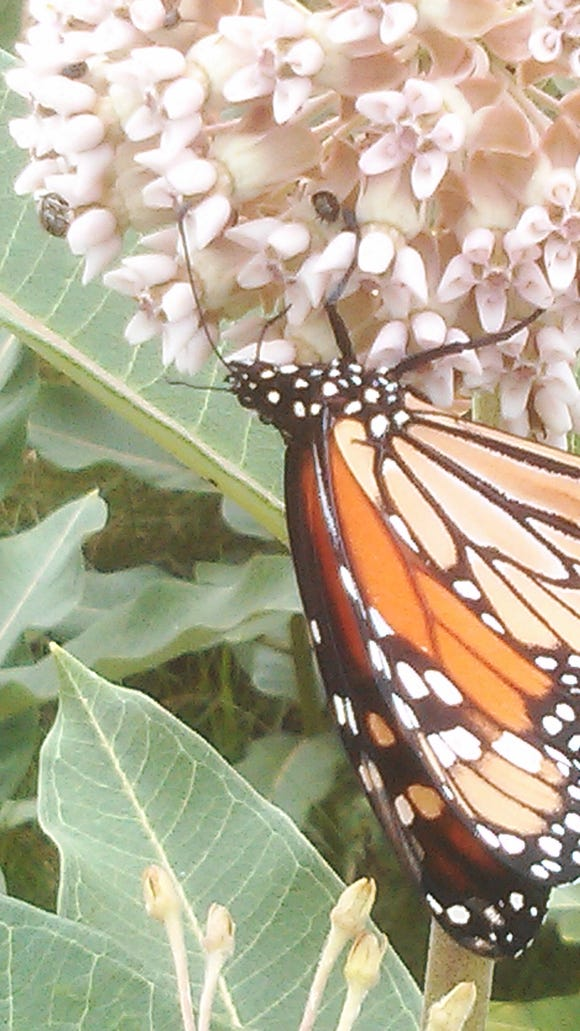 Monarch on milkweed at Lincoln Homestead State Park