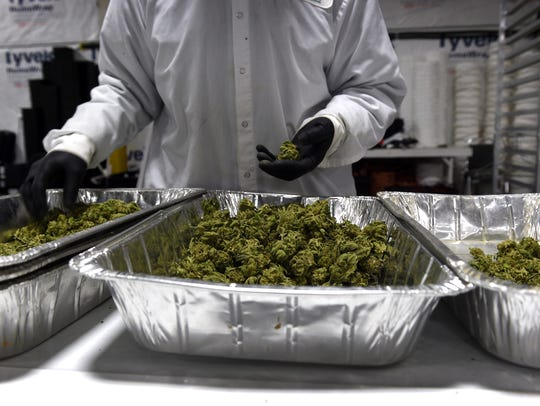 A worker sorts marijuana buds at the Sparks-based cultivation