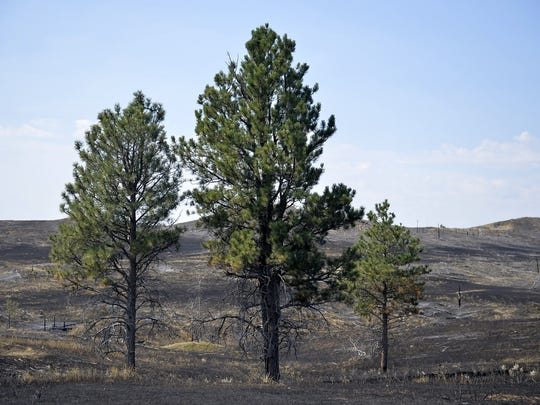 Matt and Jeana Bliss were married on their ranch in 2001 underneath these two ponderosa pine trees.  The couple was relieved that the trees survived the Lodgepole Complex fire.
