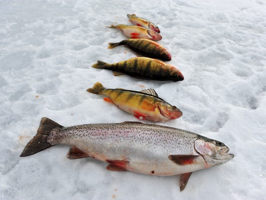 A rainbow trout and five perch caught by Alex Krier