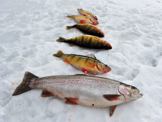 A rainbow trout and five perch caught by Alex Krier and Elizabeth Reed while ice fishing on Holter Lake. Although smaller than lake trout, good-size perch are drawing anglers to the lake.