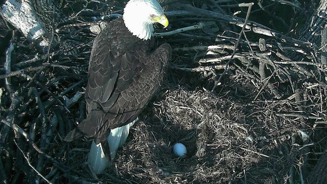 This image from video, provided by the American Eagle Foundation, taken Feb. 20, 2017, shows an eagle egg in a nest at the National Arboretum in Washington, D.C. The American Eagle Foundation says the new egg will be called DC4 and will hatch in about 35 days. A second egg was laid Thursday, Feb. 23, 2017, and is called DC5.