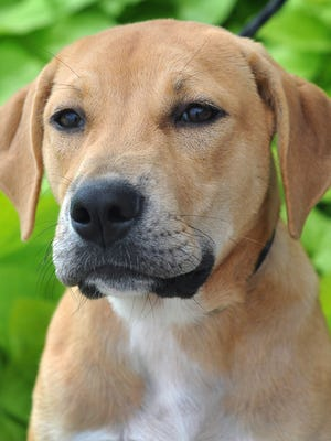 Sunshine is a 4-month-old, tan and white Lab mix. She is laid back, relaxed and available for adoption at the Wichita Falls Animal Services Center.