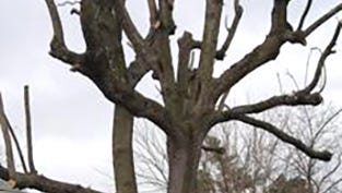 This photo shows bad pruning practices.