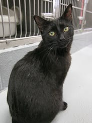 Inky, one of a number of cats available for adoption