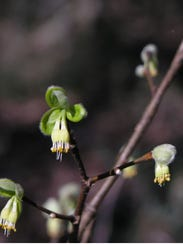 Dirca palustris blooms in late winter, with clusters