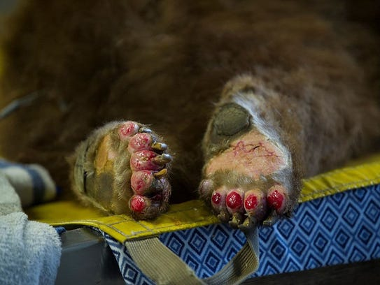 The two bears had third-degree burns on their paws.