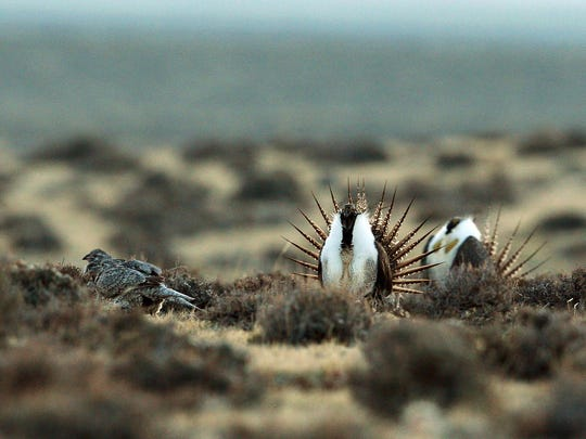 A male sage grouse performs his mating ritual in the Rattlesnake Range of Wyoming. A federal judge has granted a temporary injunction to block Trump administration plans to ease restrictions on oil and gas leasing on lands considered critical to preserving the struggling bird species in seven Western states.