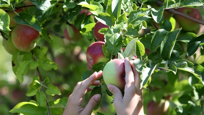 An apple is picked at a Westchester County farm during the first weekend of apple-picking season in 2018.