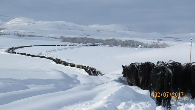 A long line of cattle wade through four feet snow drifts to get to feed at the Billedeaux Ranch north of Heart Butte. High winds expected Thursday are expected to erase any progress made in digging livestock out.