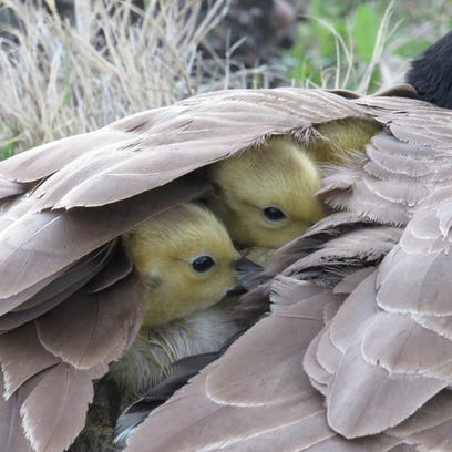 Some goslings peek out from under a wing.