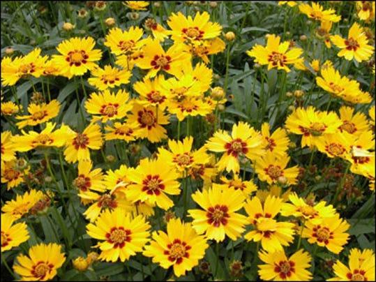 coreopsis_flowers.jpg
