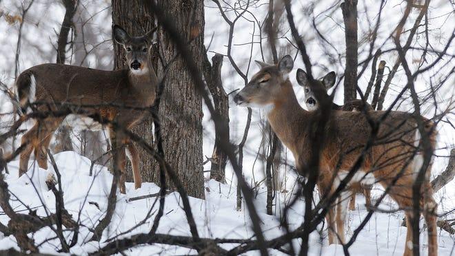 Whitetail deer roam in Tuthill Park on Jan. 14.