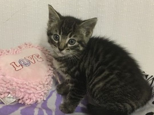 "Suki, which means ""loved one,"" is an 8-week-old female kitten who will be available for adoption soon. Raining Cats N Dogs adoptions include spay/neuter services, vaccines and vetting as needed. Call 232-6299. Go to http://rainingcatsndogs.rescuegroups.org."
