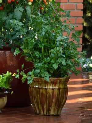 The tasty 'Peppermint Stick' celery can be grown in the ground or in a container.