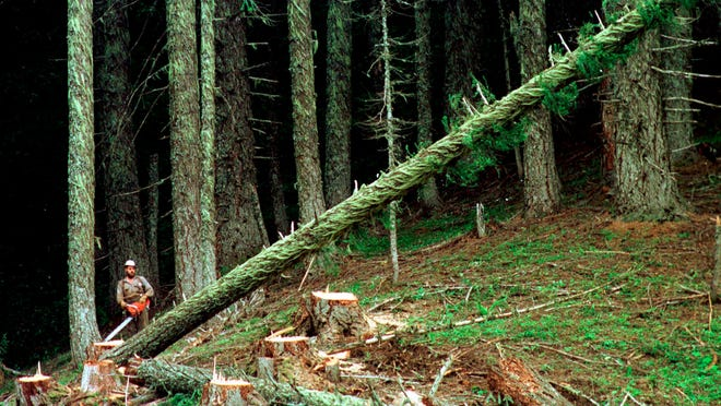 A large fir tree falls to the forest floor after it is cut by a logger in the Umpqua National Forest near Oakridge, Ore.