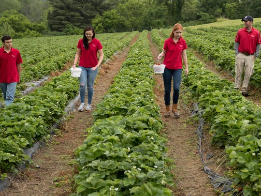 In this Tuesday, May 23, 2017, photo, teens (from left) Ben Testa, Hannah Waring and Abby McDonough, and Wegmeyer Farms owner Tyler Wegmeyer walk the strawberry rows at Wegmeyer Farms in Hamilton, Va. Testa, Waring, and McDonough are working at Wegmeyer Farms for the summer. Summer jobs are vanishing as U.S. teens spend more time in school and face competition from older workers.
