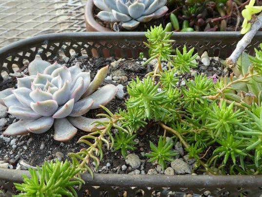 Succulents_3.JPG