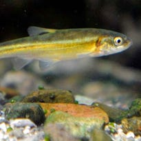 Moapa dace population steady in new count of endangered fish