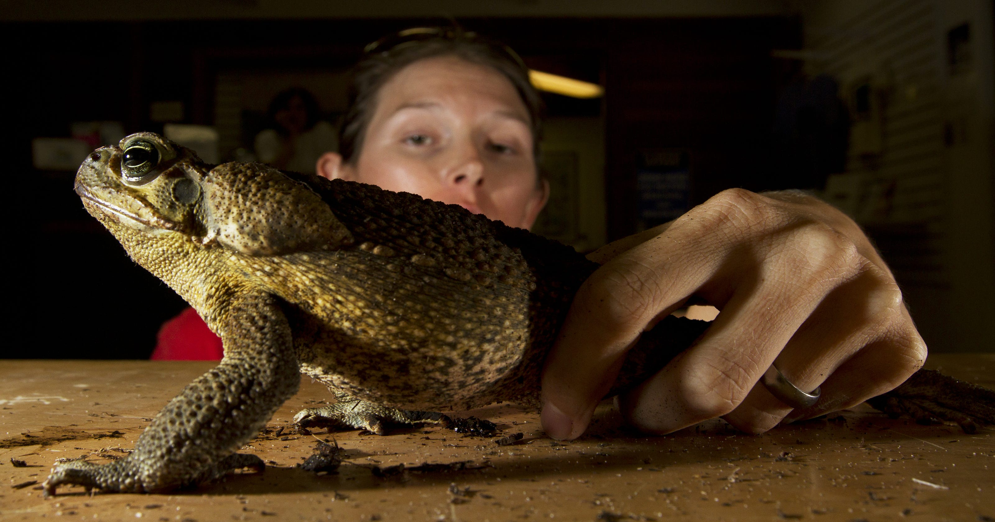 d9d3e17cd3132 Florida toads: Cane toads, aka Bufo toads, infest Palm Beach Gardens