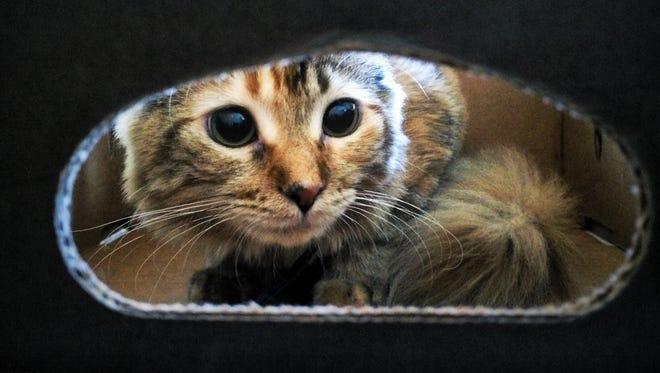 La Gusta explores a cardboard box.