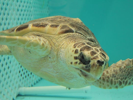 Bailey the loggerhead sea turtle in rehab.