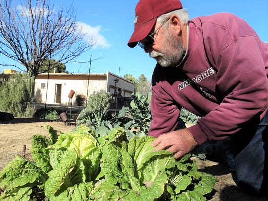 Bill Lindemann tends Napa Cabbage, which is thriving in the soil in his backyard.