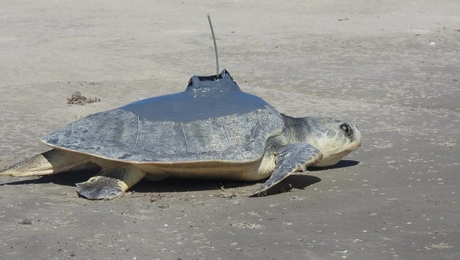 Abel, an adult male Kemp's ridley sea turtle, was released back to the Gulf of Mexico on Thursday, Oct. 27, 2016.