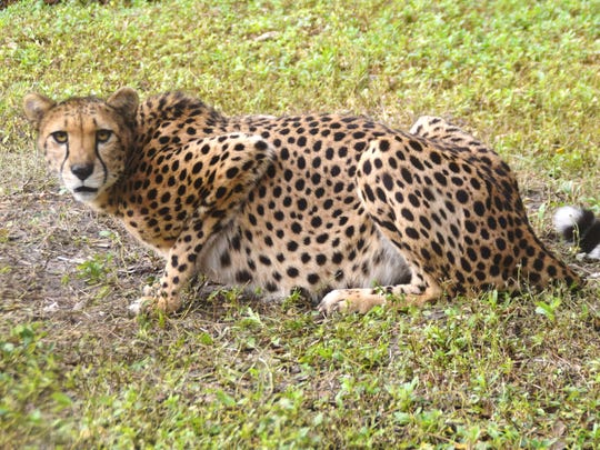 Cheetahs can be distinguished from other spotted cats by the distinctive tear stripes that run from the inside corners of their eyes to their mouth.