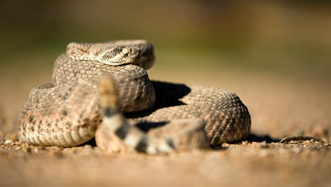 A western diamondback rattlesnake at Partners Dog Training School in Cave Creek on Tuesday, February 21, 2017.