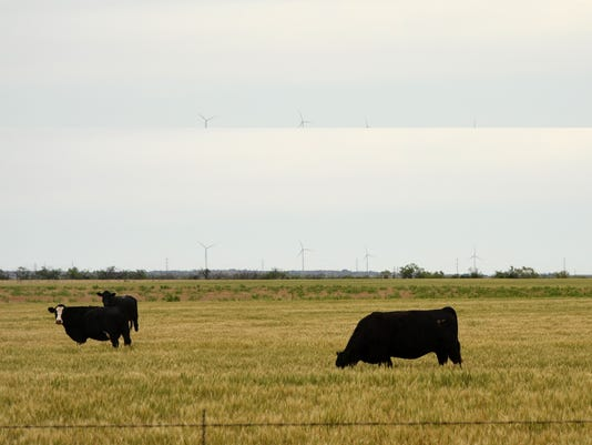 cattle-grazing-on-wheat.jpg