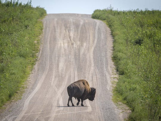 A bison walks across the auto trail in the Neal Smith