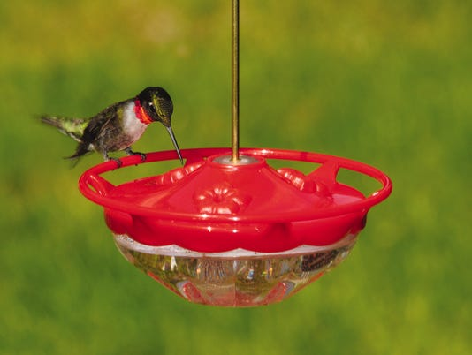 635767362311746113-male-ruby-throated-hummingbird