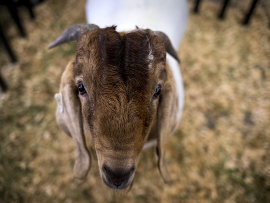 Thunder, a boer goat owned by Ron Evans, October 10, 2014, at the Arizona State Fair.