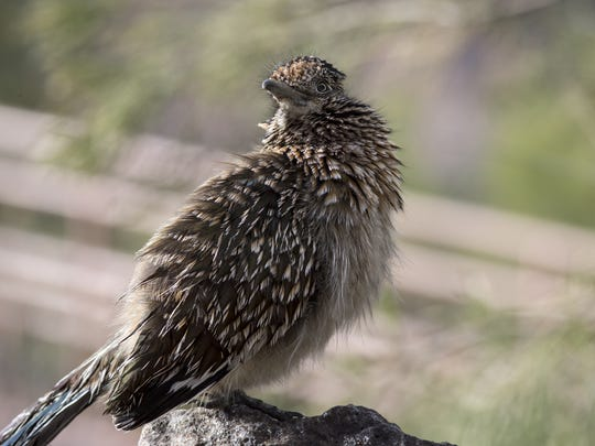 Ladybird, a female roadrunner, January 8, 2016, at