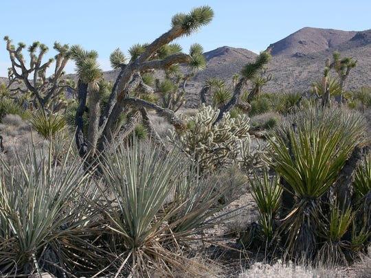 A variety of desert plants from Joshua trees to cholla cacti thrive in Castle Mountains National Monument.