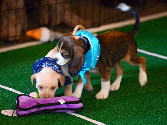 Two puppies go after a toy during Sanctuary Brewing