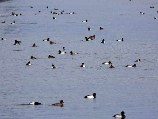 A flock of common goldeneyes swim the Sheboygan River
