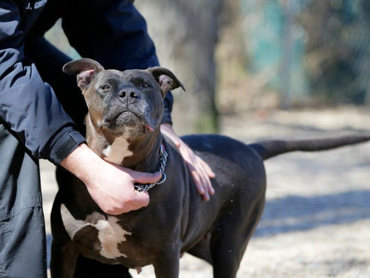 Remy, a 6-year-old Staffordshire Terrier/Pit Bull mix up for adoption, plays with Josh Griffin, animal control officer, outside during the Asbury Park Press' visit to the Associated Humane Societies during National Puppy Day in Tinton Falls, NJ Thursday March 23, 2017.  Remy has been in the shelter for 2 years and is currently the longest resident. #puppylove