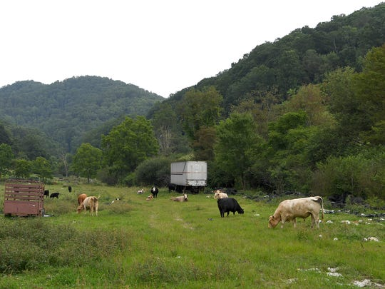 "Cows graze on a lease on what is known as the ""Smith Property"" in Mars Hill on Friday, Aug. 4, 2017.  IIf the purchase of the property goes through it will add 89 acres at the base of Bailey Mountain  to the 197-acre trail system owned by the Richard L Hoffman Foundation for the expansion of Bailey Mountain Park allowing easier access from the town of Mars Hill."