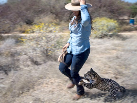 Tutu'uli, a 6-month-old female jaguar, chases handler Shandira Astrid at the Ecological Center of Sonora in Mexico. Experts say a border wall could cut off any chance of naturally reintroducing the big cats into the American Southwest.
